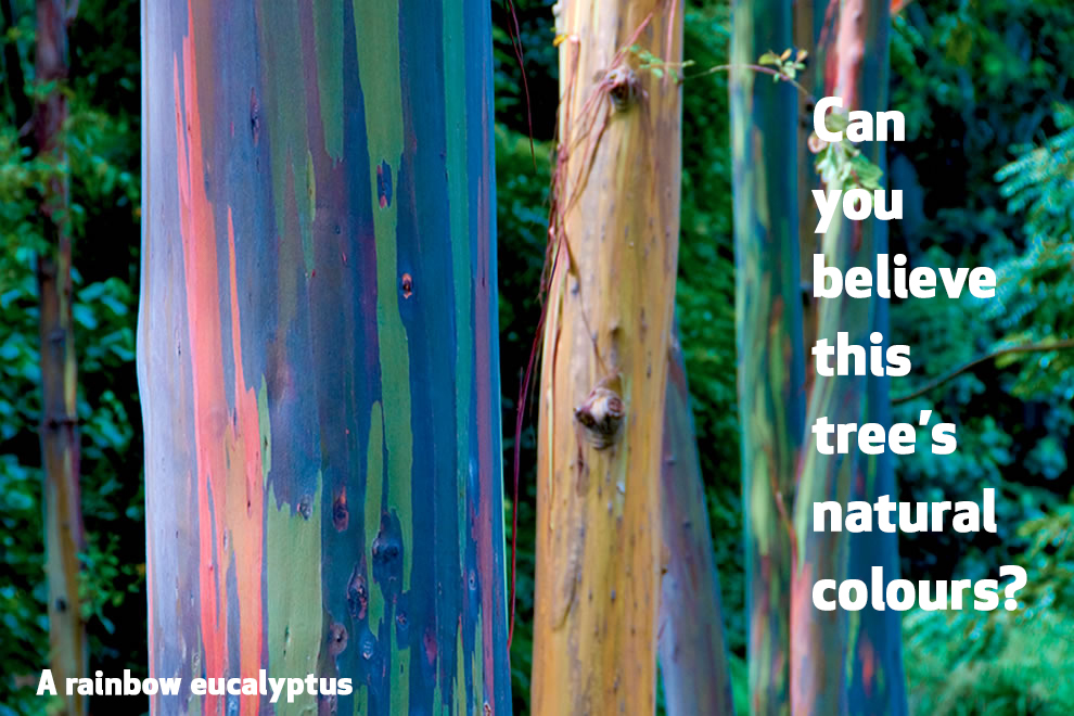 Photo of a colourful Rainbow Eucalyptus with the caption 'Can you believe this tree's natural colours?'